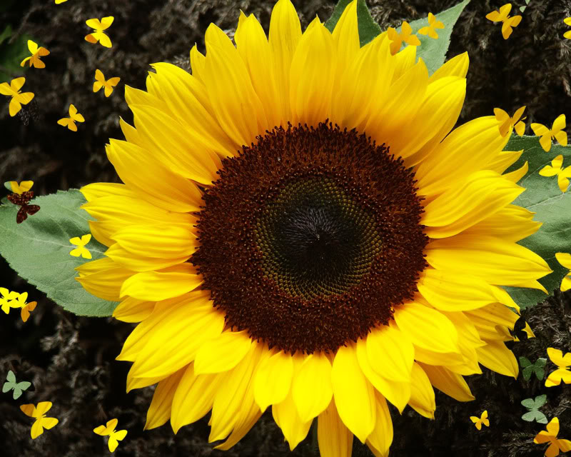 08312015 - sunflower pic