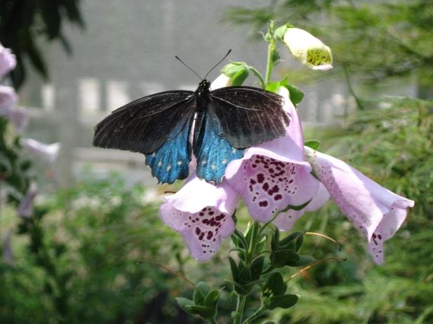 05232011 - Swallowtail