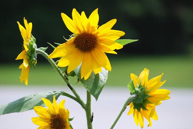 06222015 - Sunflowers