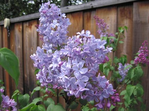 05112015 - lilacs