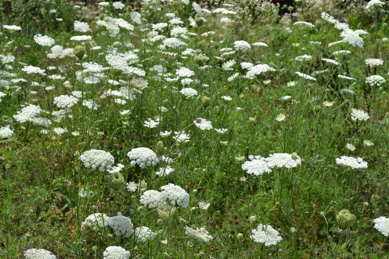 08142017 - Queen-Annes-Lace-Flowers