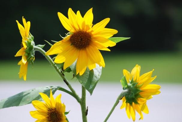 08282017 - Sunflowers