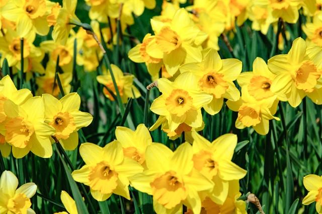 Narzissenfeld im Frühling