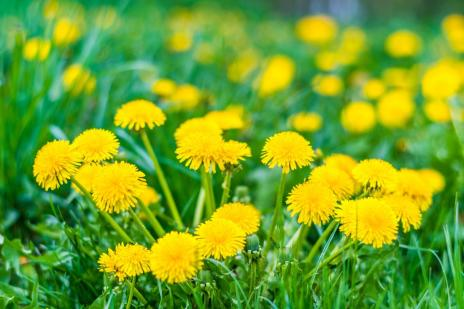 dandelions-in-a-field
